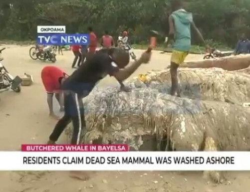 Butchered Whale In Bayelsa: Residents Seen Extracting Fatty Contents From Carcas