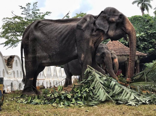 70-Year-Old Malnourished Elephant Performing In Sri Lanka Goes Viral