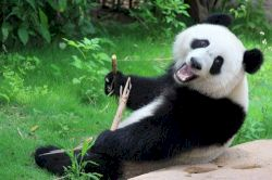 All giant pandas in zoos around the world are on loan from china